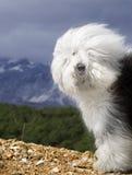 sheepdog собаки английский старый Стоковое Фото