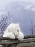 sheepdog собаки английский старый Стоковое Изображение RF