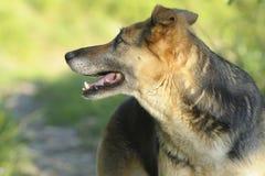 sheepdog Fotografering för Bildbyråer
