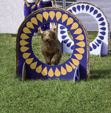 Sheepdog Royalty Free Stock Photo