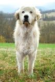 Sheepdog Royalty Free Stock Photography