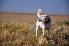 sheepdog стоковое изображение rf