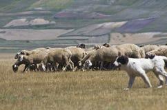 Sheepdog imagem de stock