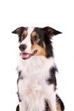 sheepdog arkivfoto