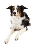 Sheepdog Royalty Free Stock Images