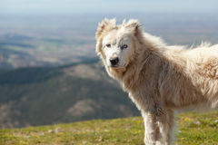 sheepdog royaltyfria bilder