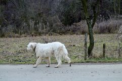 sheepdog Stockbild