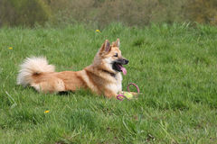 Sheepdog imagem de stock royalty free