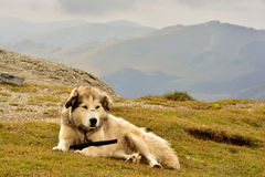 sheepdog photos stock