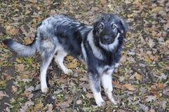 sheepdog photos stock