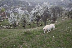 sheepdog photographie stock libre de droits