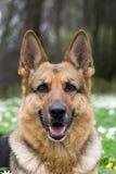 Sheepdog alemão fotografia de stock
