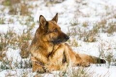 Sheepdog alemão foto de stock