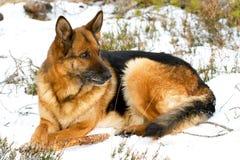 Sheepdog alemão imagem de stock