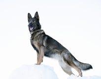 Sheepdog alemão fotografia de stock royalty free