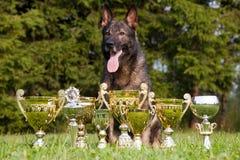 Sheepdog alemão com os copos que sentam-se na grama fotos de stock