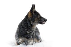 Sheepdog alemão na neve imagem de stock royalty free