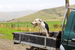 Sheepdog at the back of a pickup truck in the rain Stock Photography