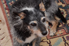 Sheepdog brie. Old mongrel dog with black fur Stock Image
