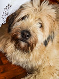 Sheepdog brie. Old mongrel dog with black fur Royalty Free Stock Photo