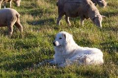 Sheepdog Closeup. A closeup of a sheepdog guarding his herd Stock Photo
