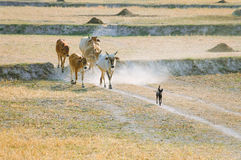 Sheepdog with cows going home in the dust at the end of day Stock Photos