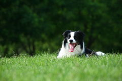 Sheepdog da beira imagem de stock royalty free