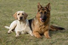 Sheepdog de Moscovo e retriever de Labrador. imagens de stock royalty free