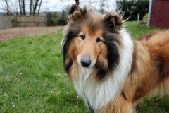 Sheepdog de Shetland imagem de stock royalty free