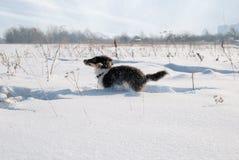 Sheepdog de Shetland do filhote de cachorro na neve imagem de stock royalty free