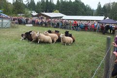 Sheepdog demonstration Royalty Free Stock Image