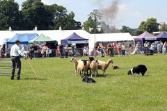 Sheepdog demonstration. Stock Images