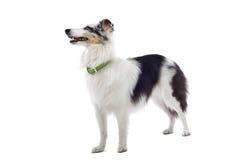 Sheepdog do Collie imagem de stock