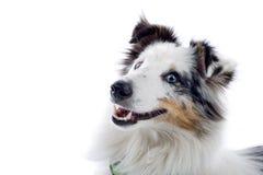 Sheepdog do Collie fotografia de stock