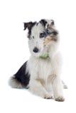 Sheepdog do Collie fotos de stock royalty free