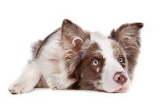 Sheepdog do collie de beira fotografia de stock