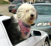 sheepdog för förväntan s arkivfoto