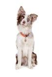 sheepdog för kantcollie arkivbild