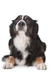 sheepdog för kantcollie royaltyfri foto