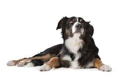 sheepdog för kantcollie arkivfoton