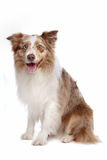 sheepdog för kantcollie arkivfoto