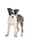 sheepdog för valp för kantcollie arkivfoto