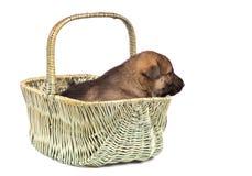 sheepdog för valp s royaltyfria foton
