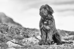Sheepdog faraway look black and white Stock Photography
