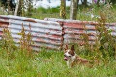 Sheepdog in field. A sheepdog collie takes a break in herding in a farm in south west Scotland stock image