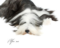 Sheepdog in front of a white Stock Image