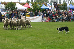 Sheepdog gathering a flock of sheep on the competition Stock Images