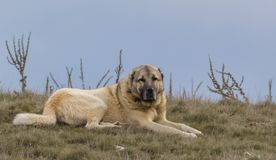 Sheepdog laying on the ground. Sheepdog giving a break and laying on the ground on an autumn day royalty free stock images