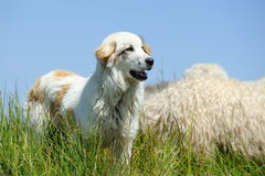 Sheepdog guarding a flock of sheep Royalty Free Stock Images