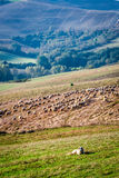 Sheepdog guarding a flock of sheep Royalty Free Stock Image